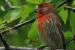 A House Finch in a tree