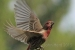 A House Finch in flight