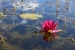 A water lily and it's reflection at Springbank Park, London, Ontario.